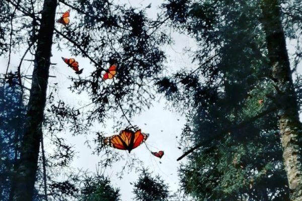 Maleta de Viajes, viajes, turismo, cultura, Estados, ecología, Mariposa Monarca, Estado de México