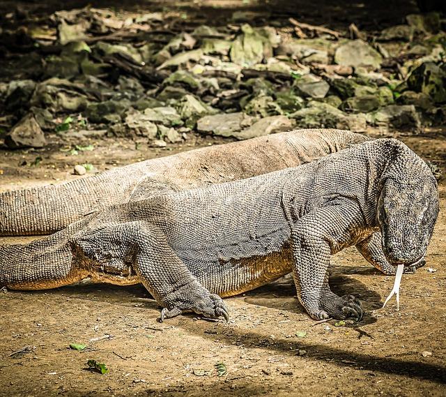 dragones de Komodo, ecología, medio ambiente, turismo, Indonesia