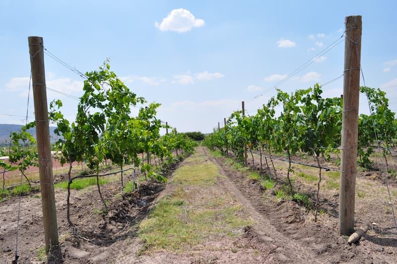 Foto del viñedo enfocando a la vid.